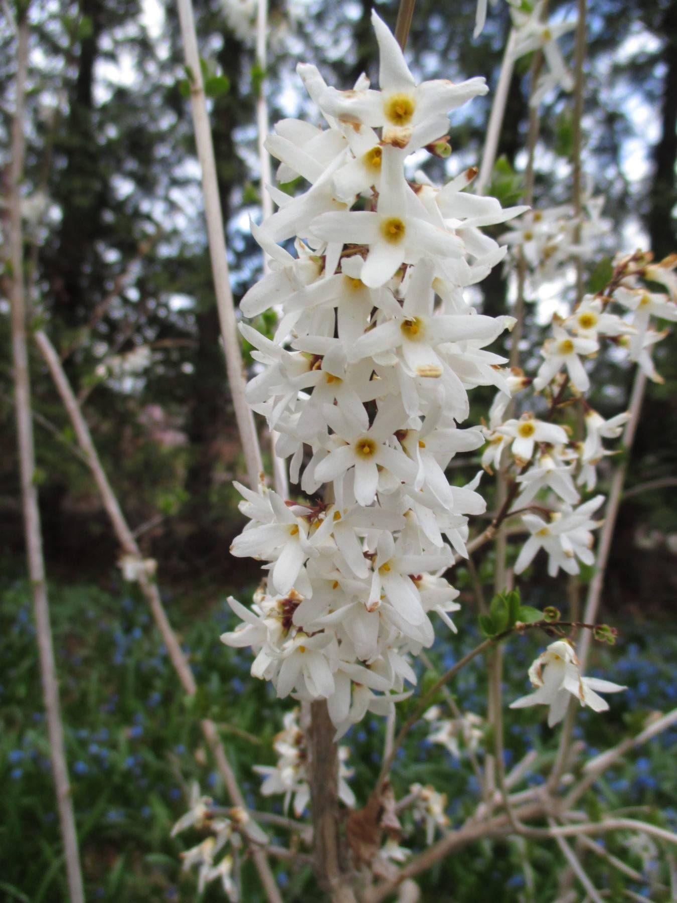 Abeliophyllum Distichum White Forsythia The Small White Flowers