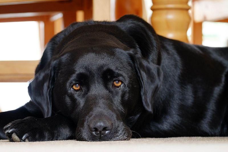 Those Eyes Black Labs Lab Puppies Black Labrador Retriever