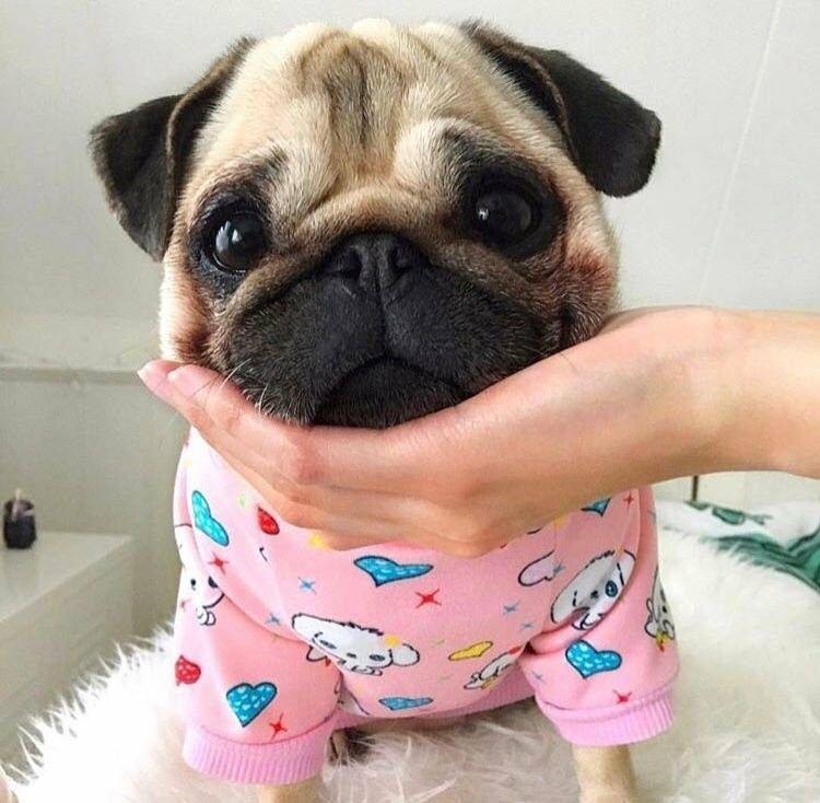 Pinterest Kristinmillardd Baby Pugs Cute Pug Puppies Cute Pugs