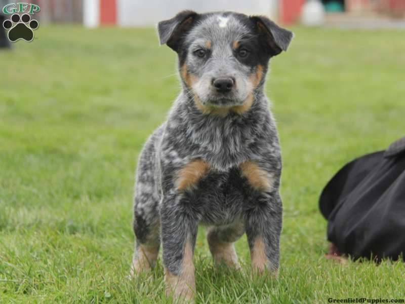 Zenias Mini Blue Heeler Male Blue Heeler Australian Cattle Dog Blue Heeler Cattle Dog