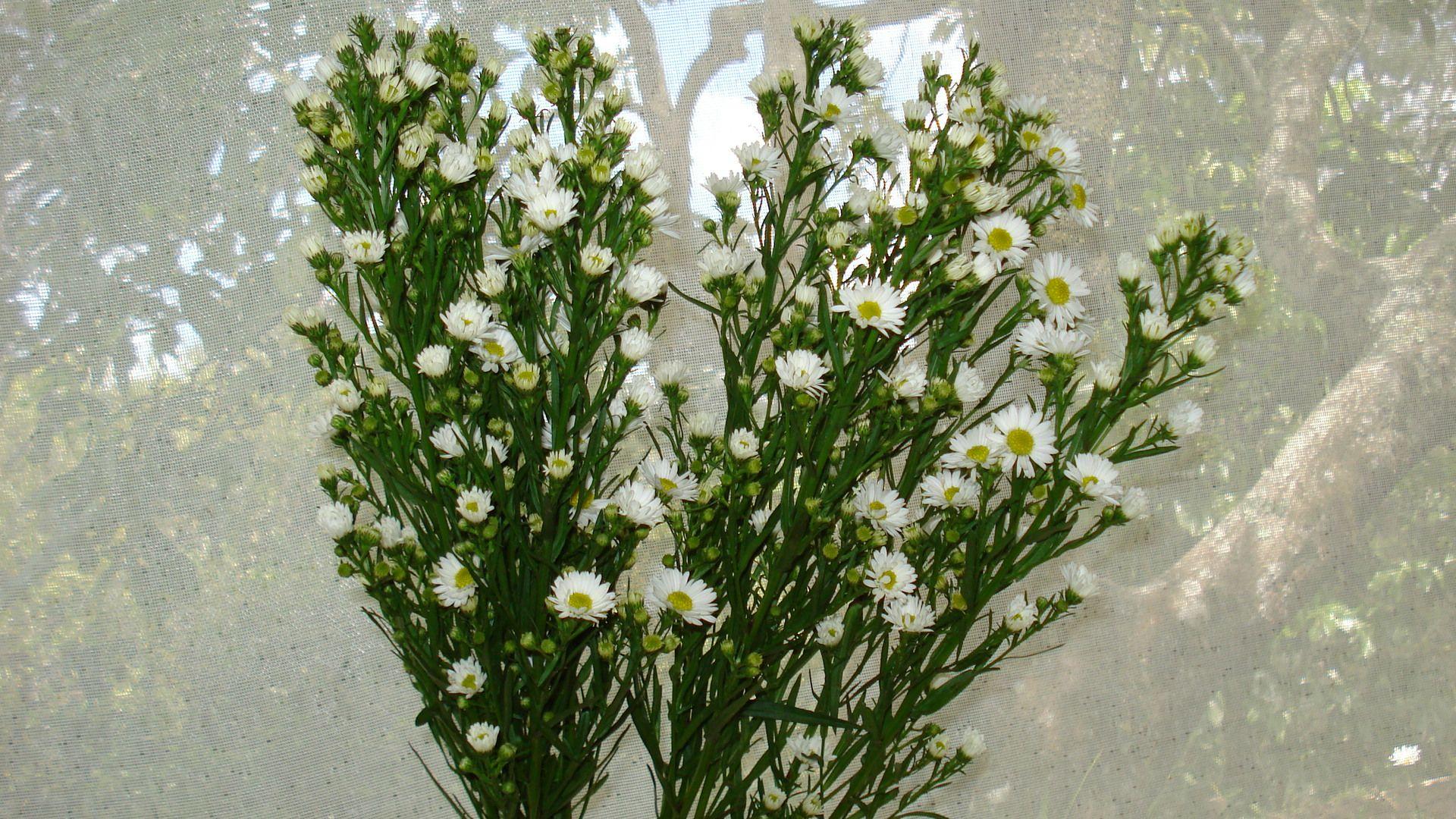 Aster White 2g Lime White