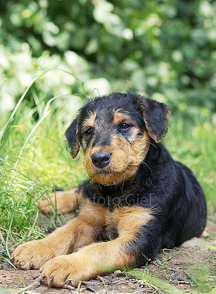 Google-Ergebnis für http://www.tierfotograf.com/media/600-600-67725-0-0/033300_airedale-terrier-welpe.jpg