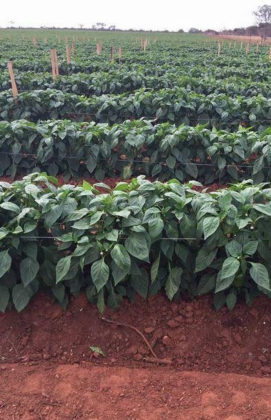 Crop Guide Pepper Fertilization Recommendations – Haifa 400 x 300