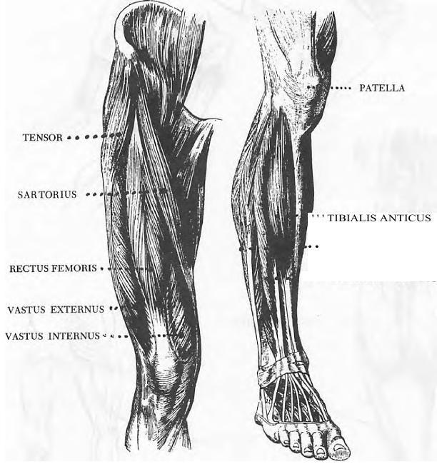 Human anatomy articles