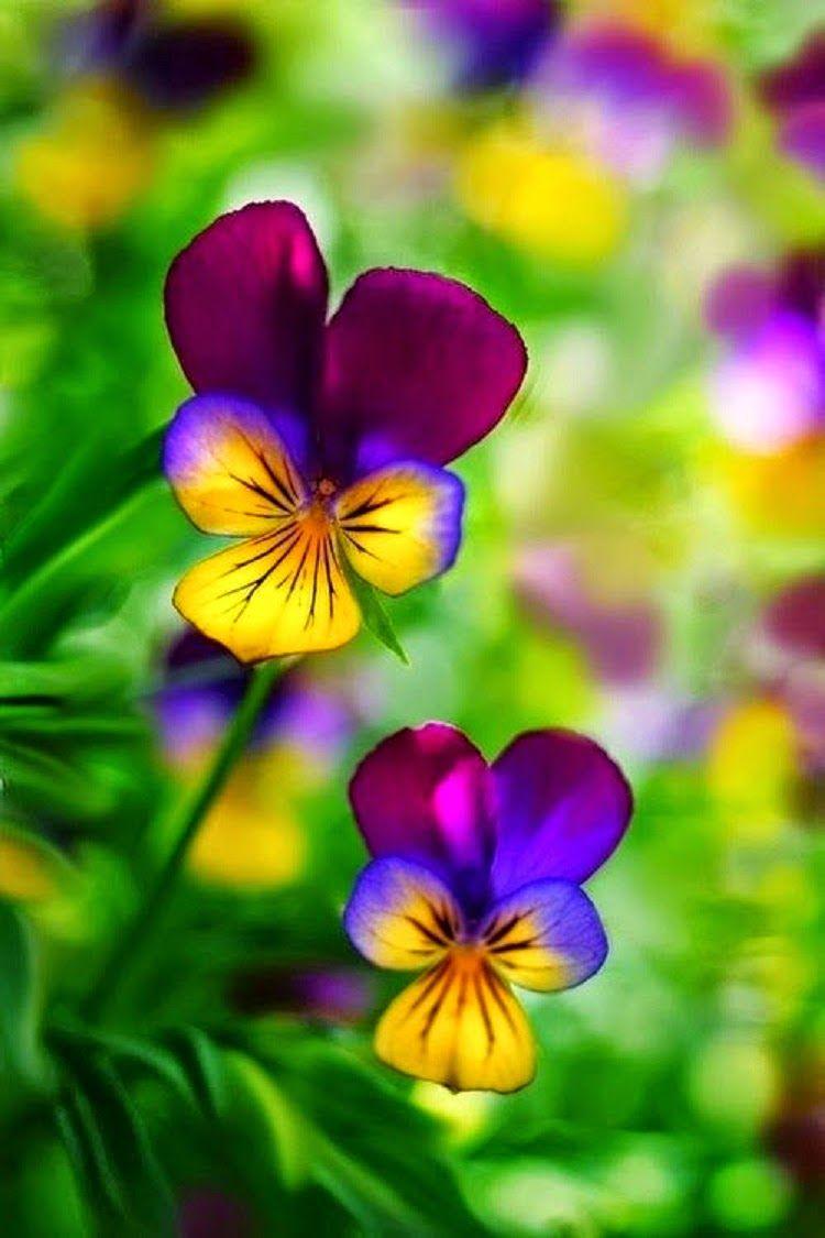 Rainbow Flowers Pansies Pinterest Rainbow Flowers Flower
