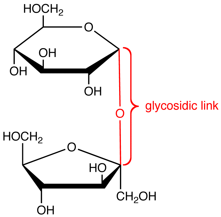 Glycosidic Bond Can Form Between Glucose Molecules In A Starch Molecule Through A Dehydration Reaction