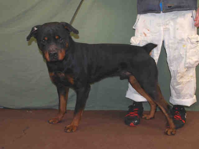 Rottweiler Dog For Adoption In Louisville Ky Adn 420044 On