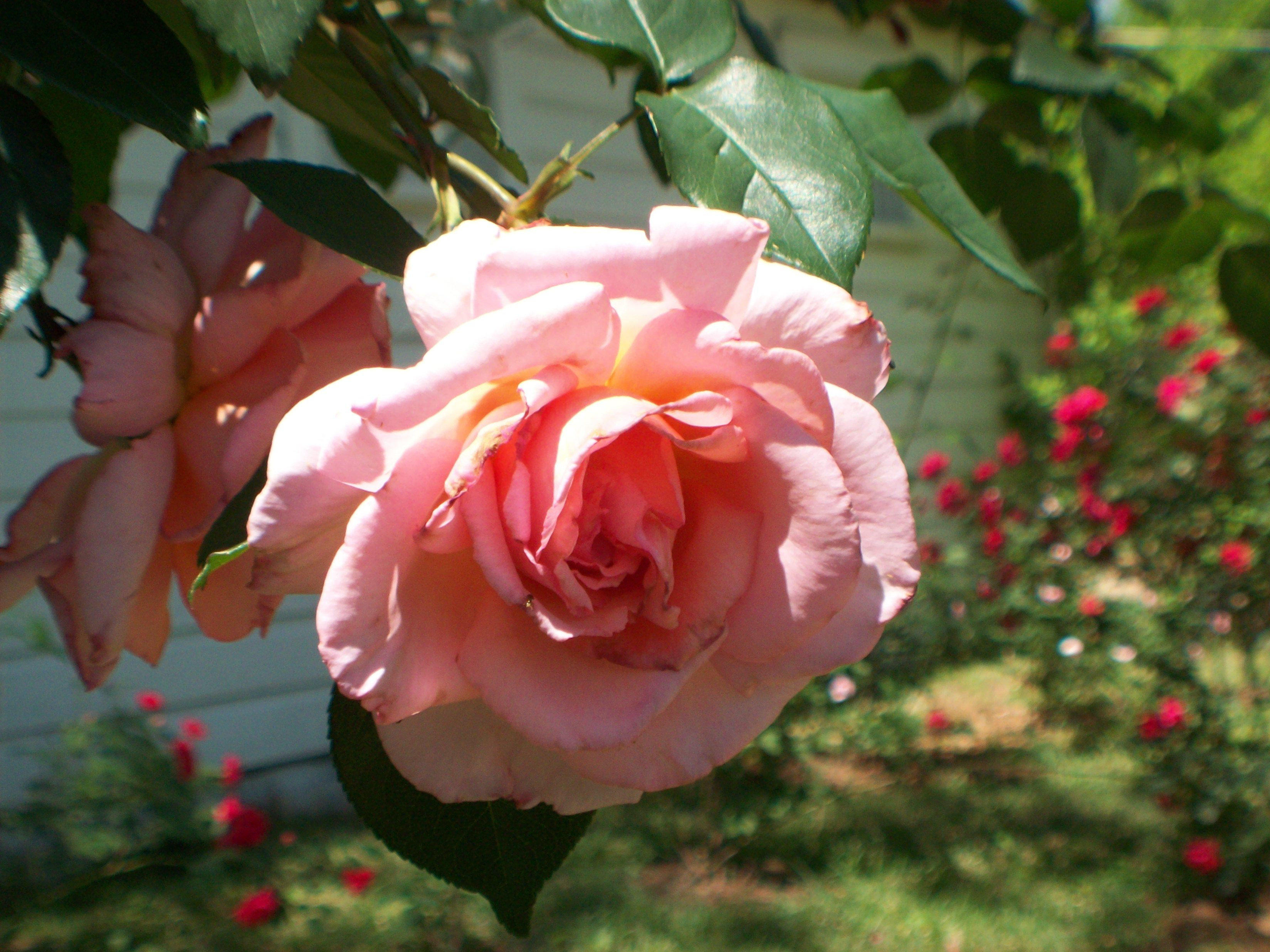beautiful roses in my own backyard things i love pinterest