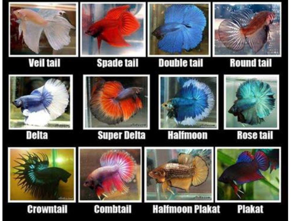 Fighter fish types - photo#2