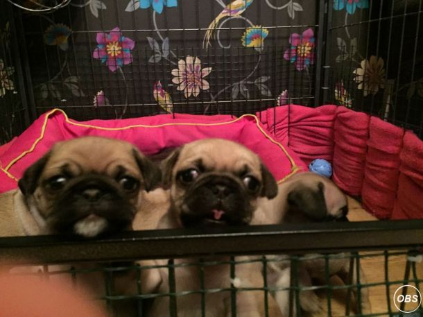 Male And Female Pug Puppies To Rehome Pets Pug Puppies Free