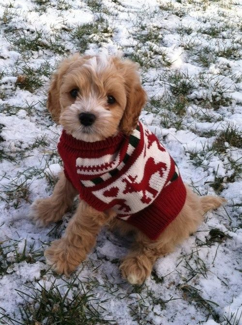 Dog Wearing A Christmas Sweater Morkie Puppies Poodle Puppy