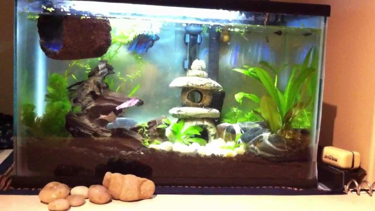 5 5 Gallon Tank Good Betta Tank Live Plants Rocks Driftwood Floating Betta Long Snail Watch How The Betta Displays Betta Fish Tank Betta Tank Betta Fish