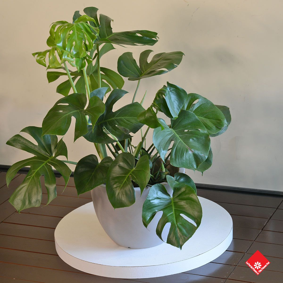 Monster plant split leaf philodendron monstera deliciosa for Plante monstera