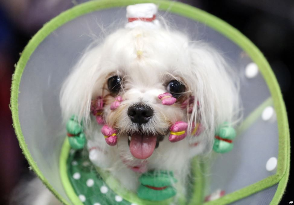 Stephen A Two Year Old Male Maltese From China Is Groomed During Thailand International Dog Show In Bangkok Dog Show Pet Grooming Dogs