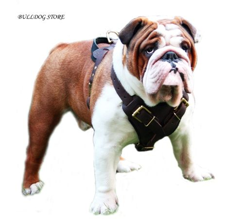 Harness For English Bulldog Bulldog Ingles Perros