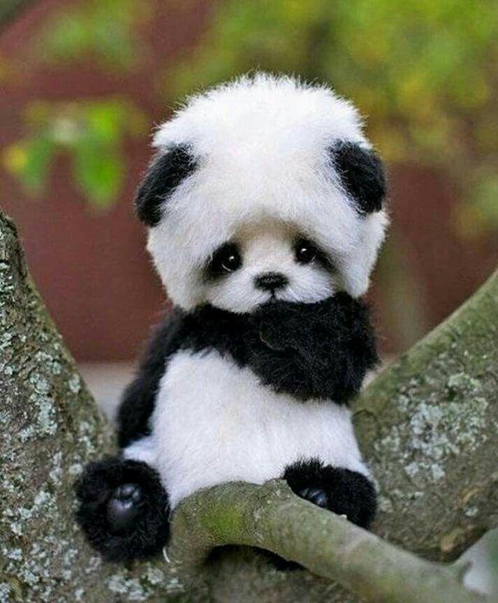 panda bear animals of all kinds pinterest animal b b s animaux et chou. Black Bedroom Furniture Sets. Home Design Ideas