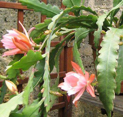 Epiphyllum cactus biznagas y suculentas cactus for Vivero de plantas exoticas