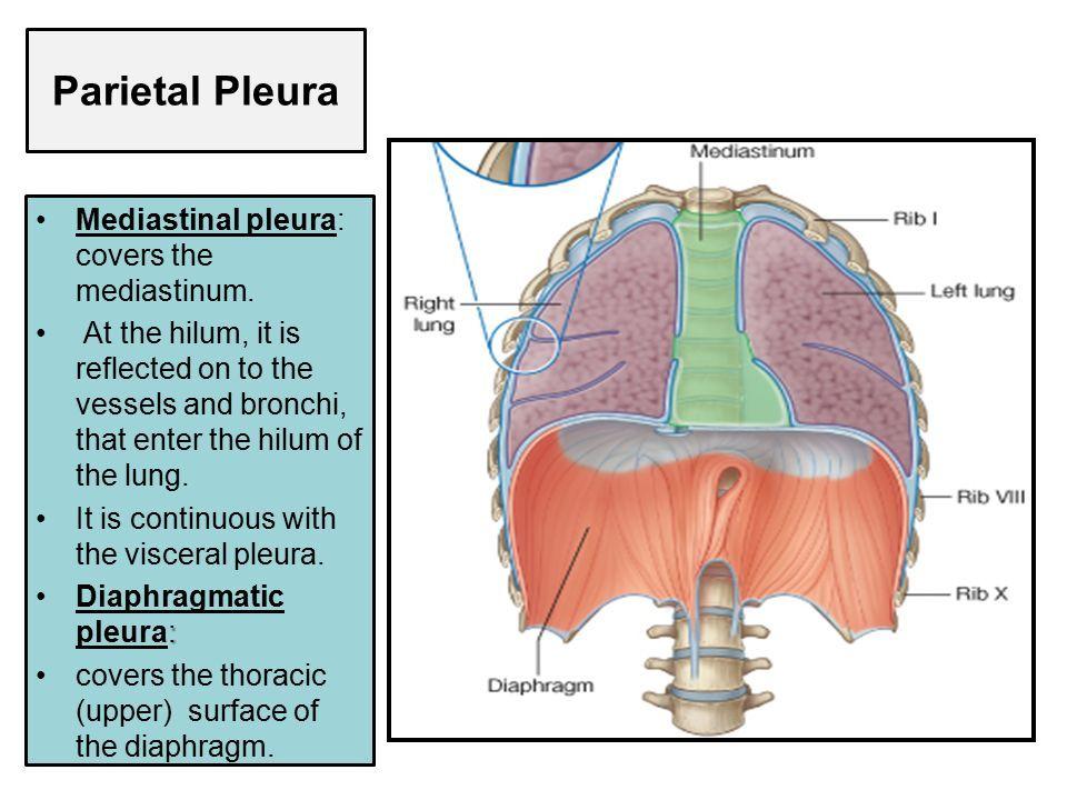 Resultado de imagen para pleura parietal mediastinica | anatomia 1 ...