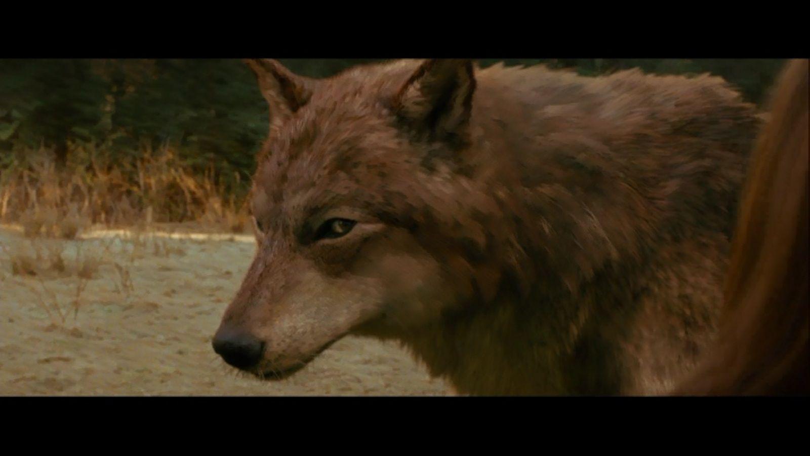 Werewolf Twilight Pack breaking dawn jacob wo...