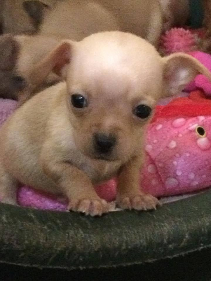 Chiweenie Dog For Adoption In Redding Ca Adn 441168 On