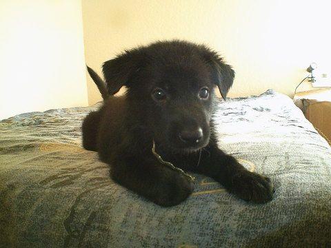 Litter Of 9 German Shepherd Dog Puppies For Sale In San Antonio Tx