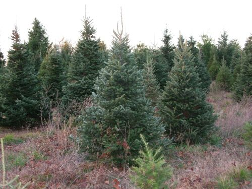 Michigan Tree Farm Christmas Tree Farm Michigan Trees Tree Farms