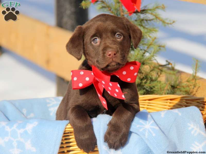 Kira Chocolate Lab Puppy For Sale From Christiana Pa Christmas Dog Chocolate Lab Puppies Puppies