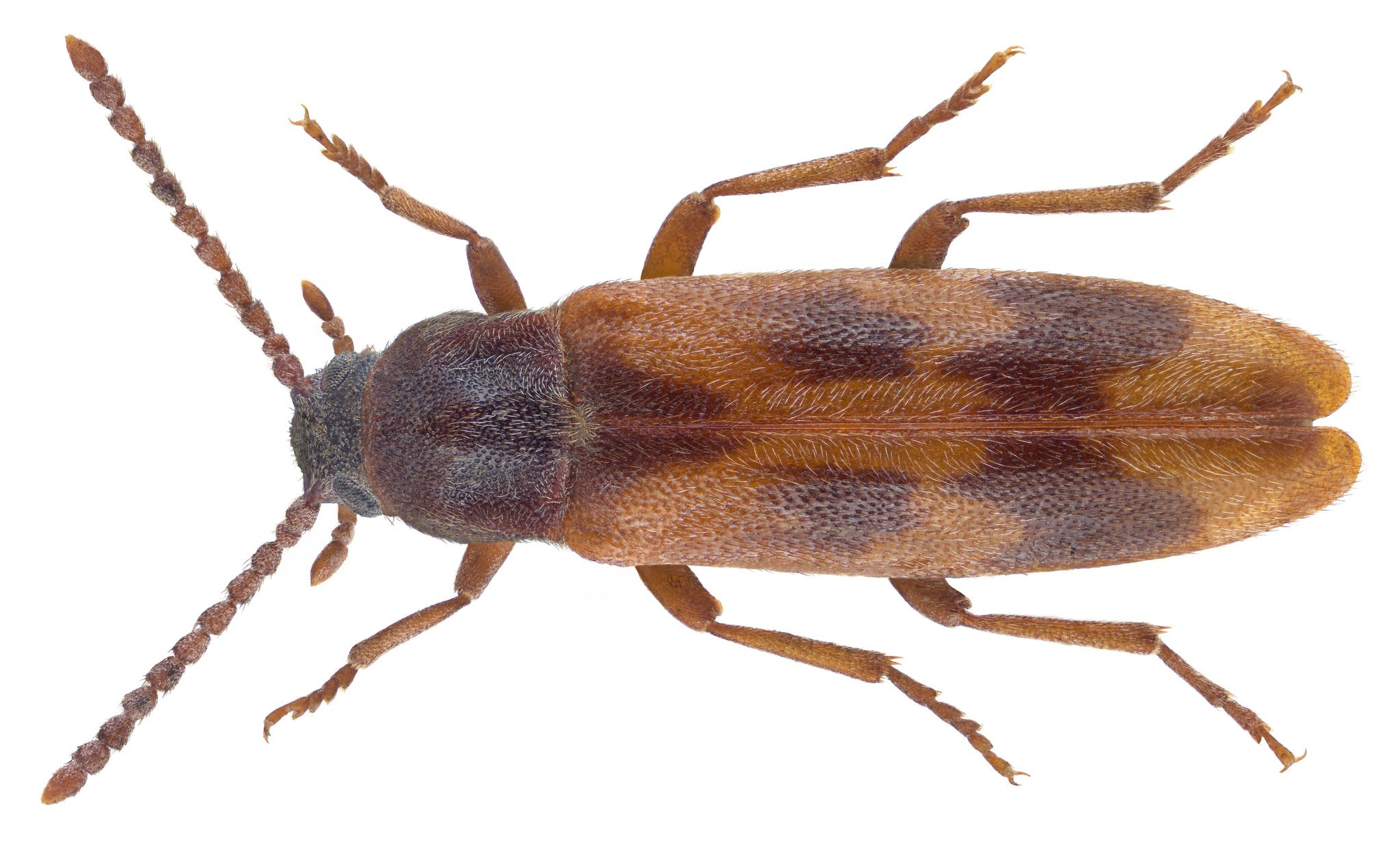 Hipulus Quercinus Quensel 1790 画像あり 甲虫類