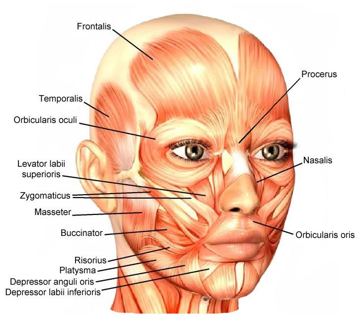 25+ best muscles of the face ideas on pinterest | anatomy of the, Human Body