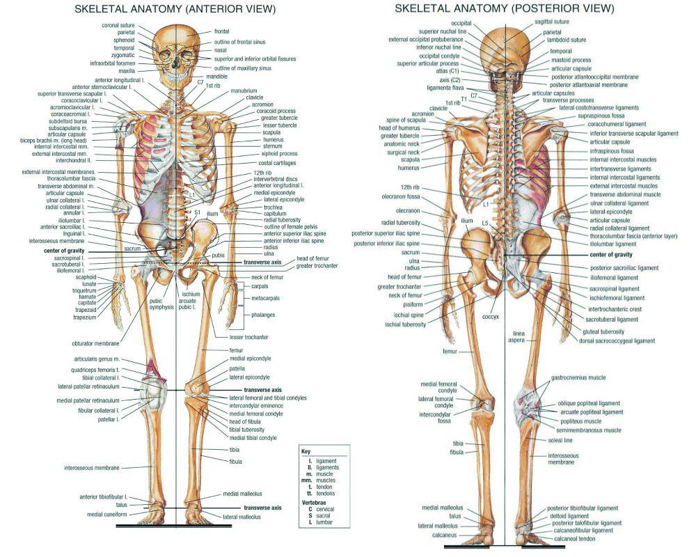 P0081 Human Font B Body B Font Skeletal System Font B Poster B Font