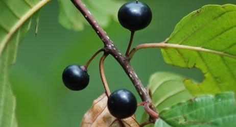 faulbaum faulbaumrinde heilpflanzen lexikon pflanzen mit wirkung pinterest. Black Bedroom Furniture Sets. Home Design Ideas