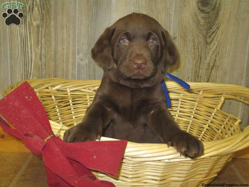 Axel, Chocolate lab puppy for sale from Denver, PA