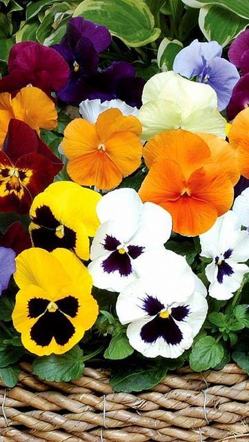Pansies Flowers Bright Basket 60053 640x1136 Pansies Flowers Pansies Beautiful Flowers