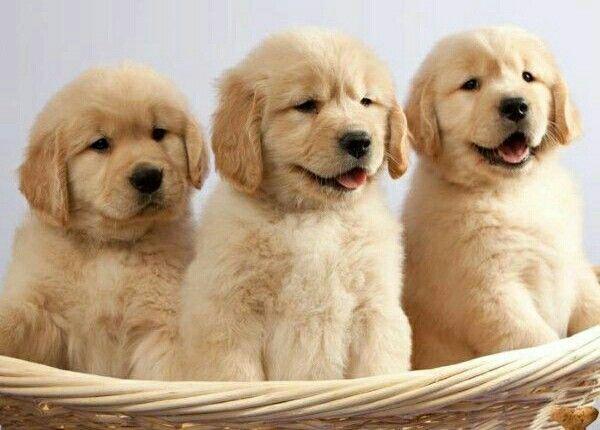 For sale golden retriever pups