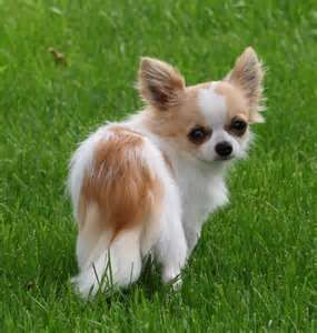 Image Search Results For Apple Head Long Haired Chihuahuas