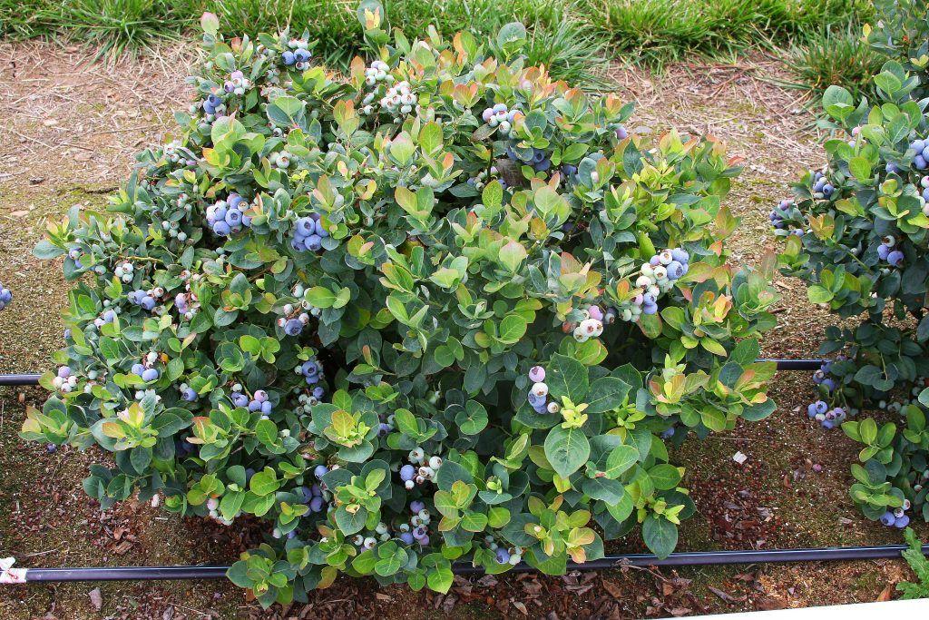 небольшой уютный голубика садовая посадка и уход фото отзывы происходило названия