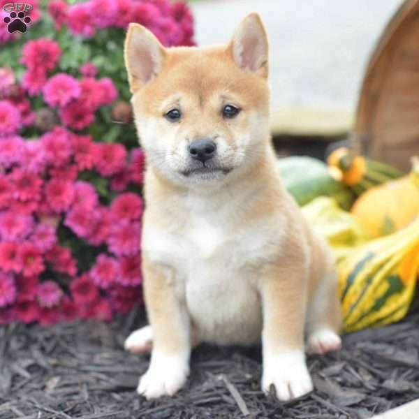 Miranda Shiba Inu Puppy For Sale In Ohio Dogs Shiba Inu