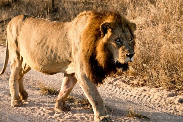 LONDOLOZI - A SAFARI STORY Up until a few decades ago, safari was about hunting trips – lion heads on the wall, mounted tusks and other trophies. The white hunter out taming Africa. Today's safari story has emerged from those origins but now walks the other direction towards conservation and eco-tourism. #EarthSongBlog #VanVaibhav