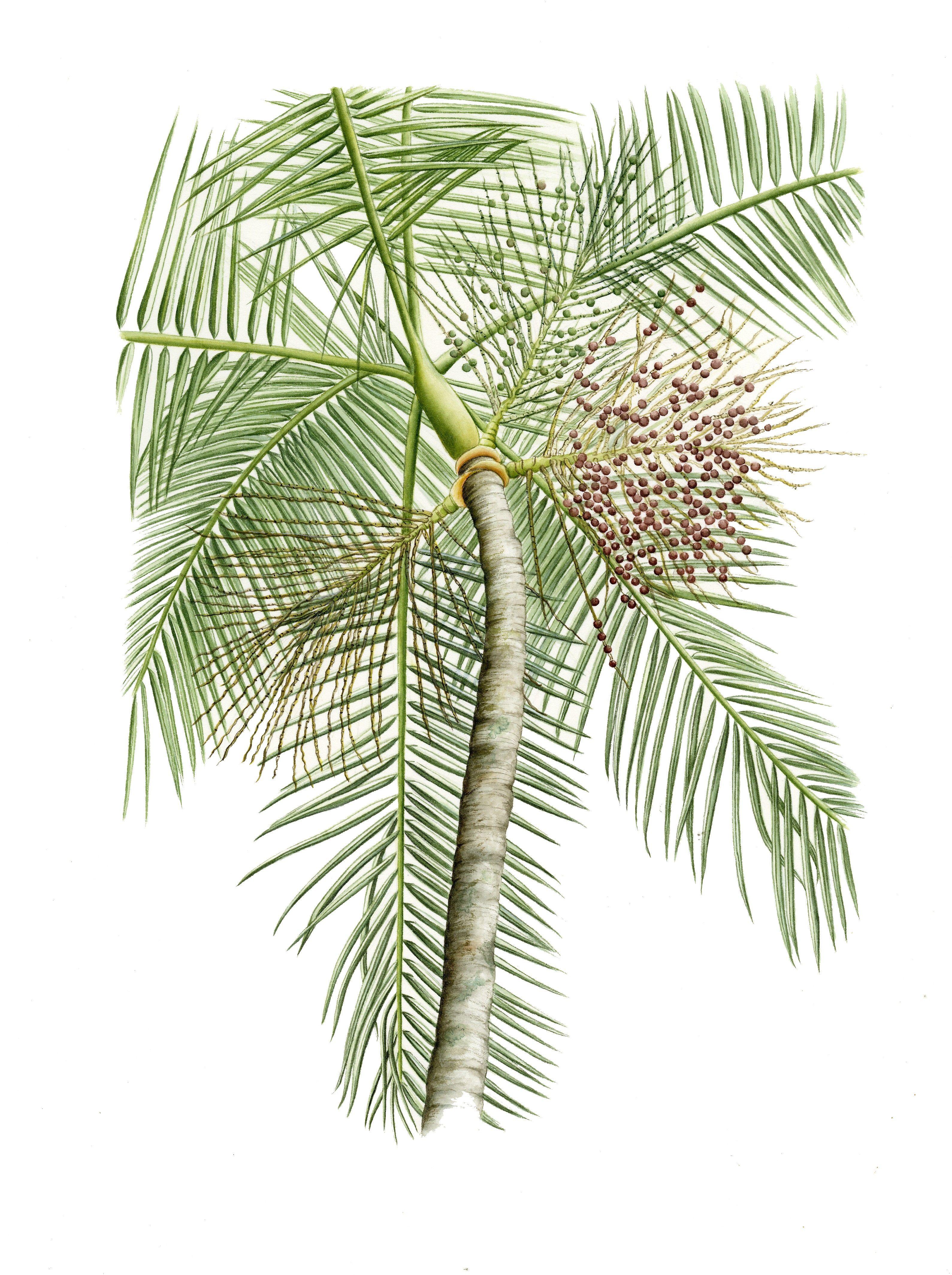 Euterpe Oleraceae  Açaí