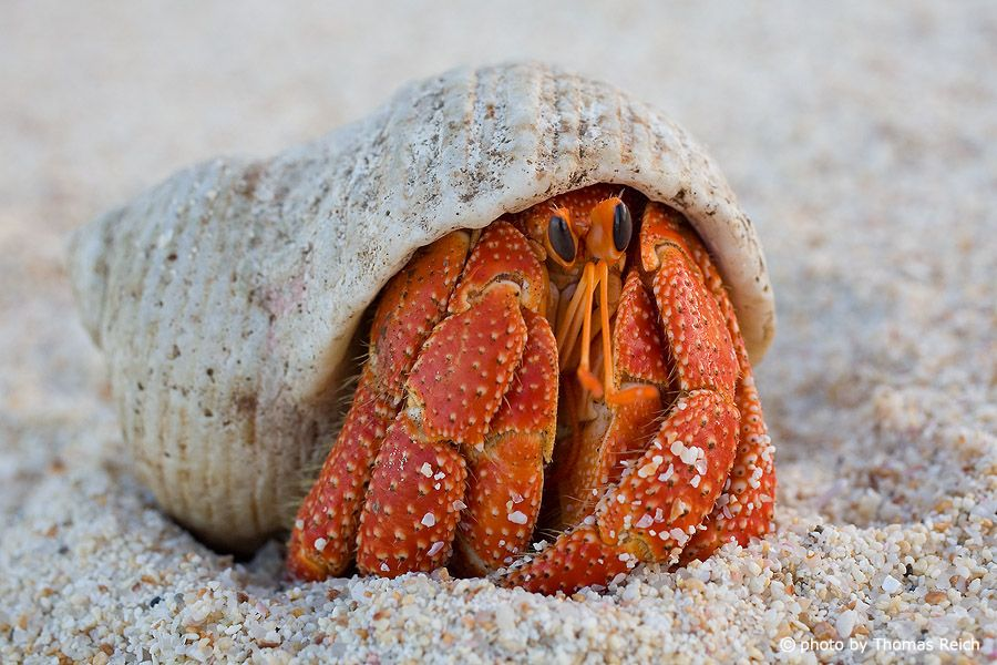 Einsiedlerkrebs (Paguroidea) am Strand, La Digue | Beautiful ...