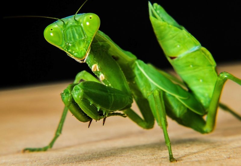Praying Mantis: Beneficial Insects | NATURES WONDERS