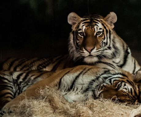 For The Tiger Lovers:) Tiger Snuggle (by EvesNature)