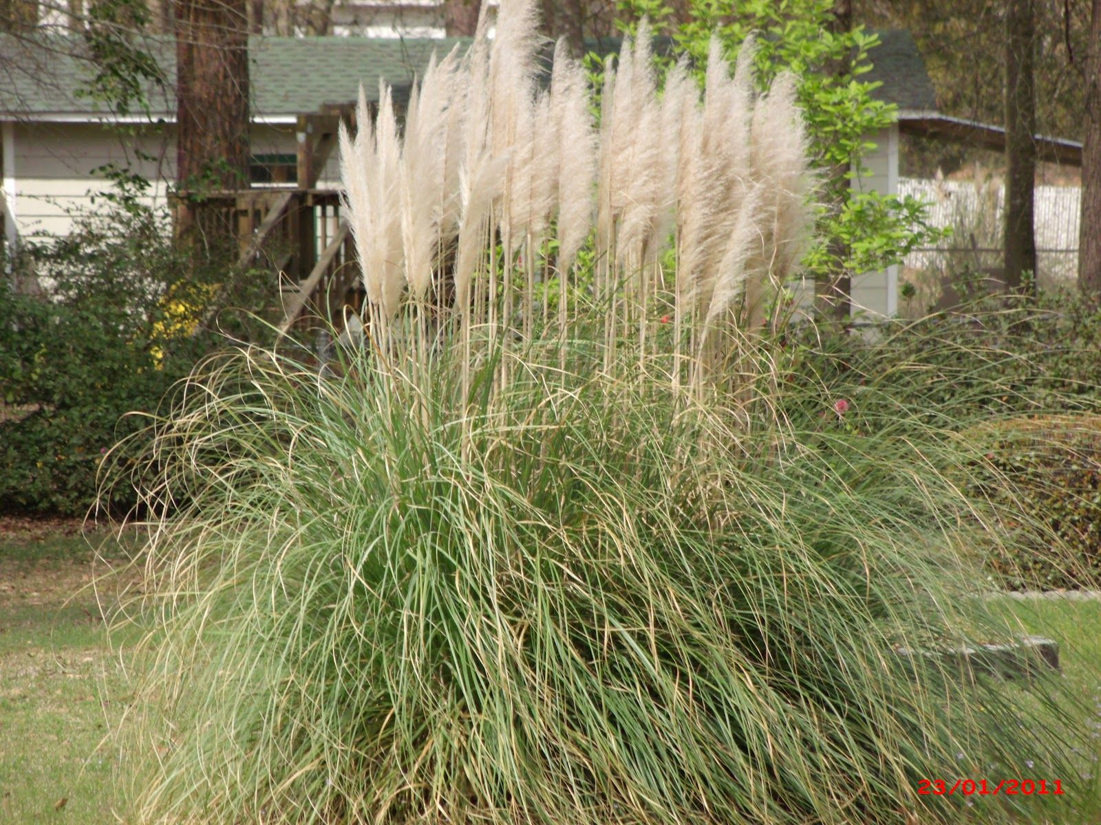 Ornamental grass like this pampas grass are popular for Ornamental garden features