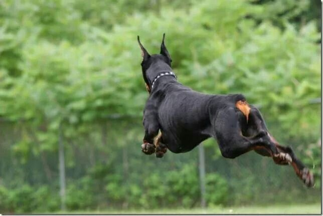 Doberman Jumping Doberman Breed Doberman Dogs