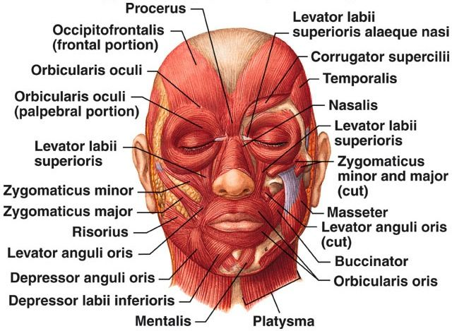 Facial Muscles #esthetician #education #face | Skin care ...