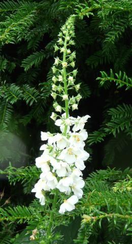 Plant Catalogue | Plant Hunters  Verbascum phoenicium album