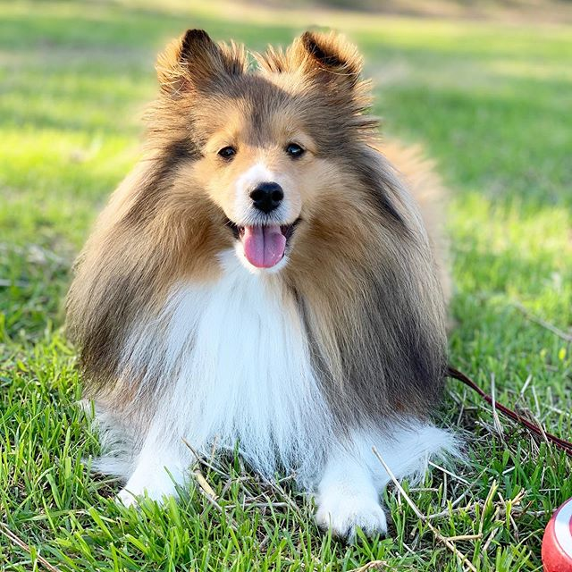 Instagram Sheltie Google 検索 Sheltie Shetland Sheepdog Shetland Sheep