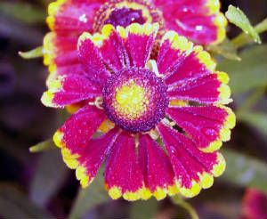 Helenium autumnale 'Red & Gold Hybrids'