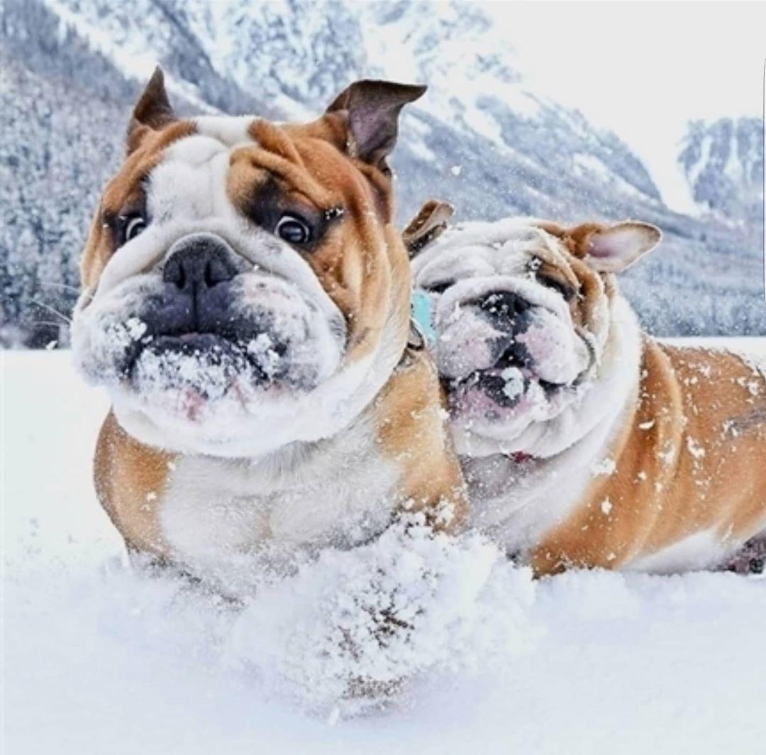 America S Got Talent S Simon Cowell Donates Over 32k To Shut Down South Korean Dog Meat Farm In 2020 With Images Bulldog Bulldog Puppies Bulldog Dog