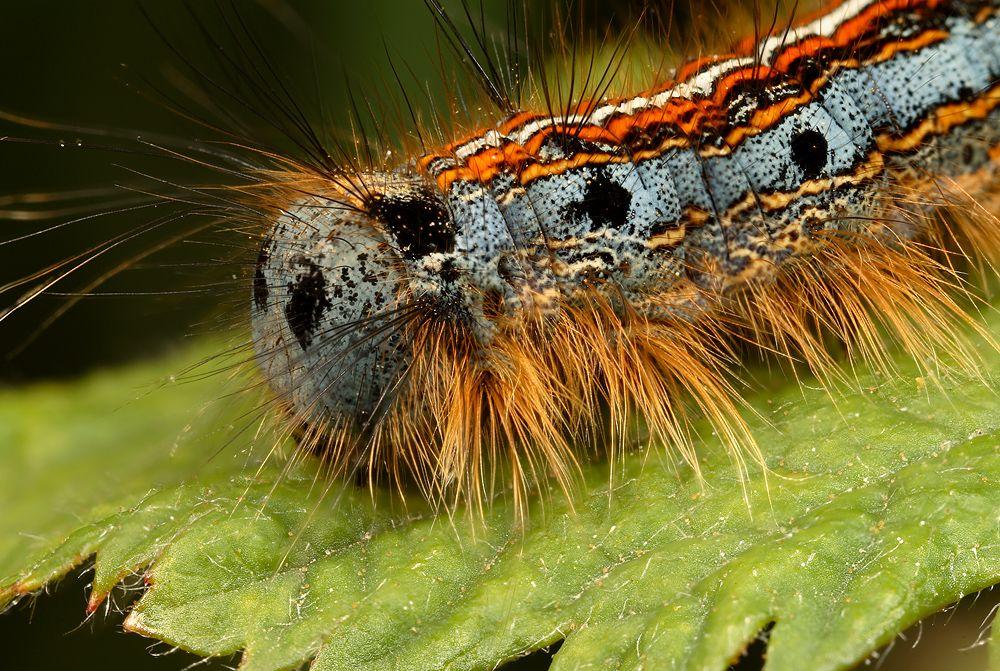 Caterpillar By Alliec Deviantart Com On Deviantart Taturana
